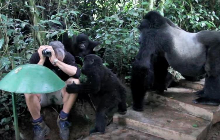 Unglaubliche Begegnung: Fotograf wird von Silberrücken-Gorillas untersucht