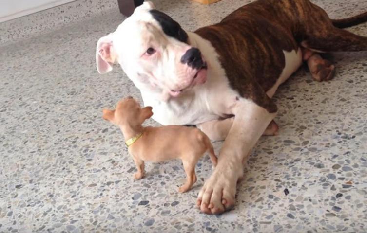 """Der süße """"Kampf"""" zwischen Chihuahua und Pitbull"""