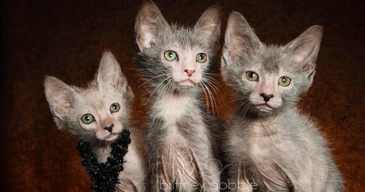Kennt ihr schon diese süßen Werwolfkatzen?