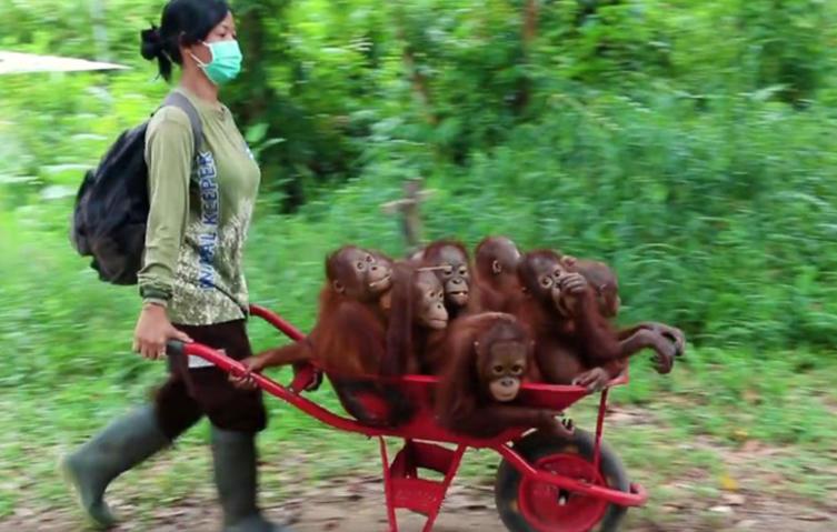 Tierschützer kümmern sich rührend um verwaiste Baby-Orang-Utans