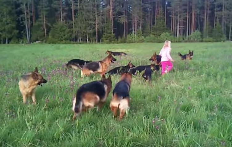 Außergewöhnliche Begegnung: Kleines Mädchen spielt mit 14 Schäferhunden