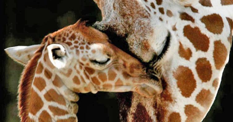 Die 15 Jahre alte Giraffe April hat am 15. April ein Junges bekommen. Es ist ein Junge!