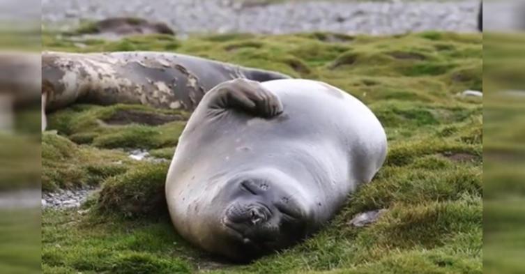 Pure Wellness: Diese Robbe massiert sich selbst