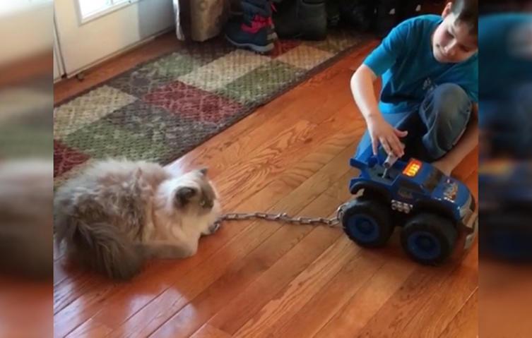Faule Perserkatze lässt sich mit Spielzeug-Wagen durch die Wohnung ziehen