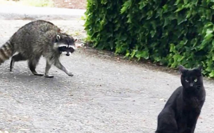 Ein dicker Waschbär versucht mit einer Katze zu spielen