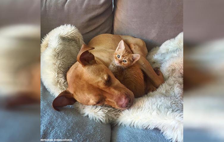 So rührend sorgt sich eine Pitbullmama um eine kleine Katze