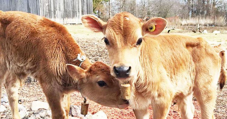 Es heißt ab sofort nicht mehr Bauer sucht Frau, sondern Bauer sucht Kuh!