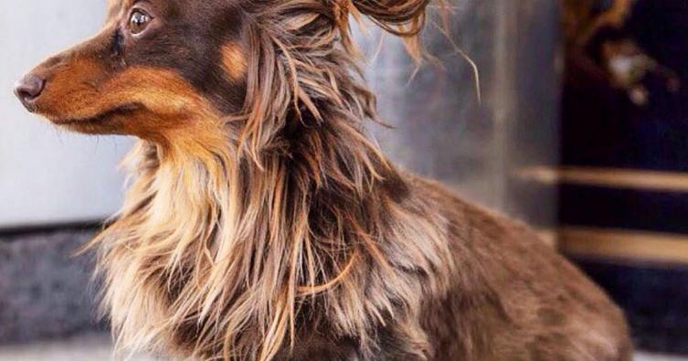 Nicht nur Männer tragen diese Trendfrisur – auch Hunde!