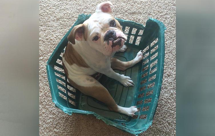 So mutig kämpft eine Englische Bulldogge mit Frauchens Wäschekorb
