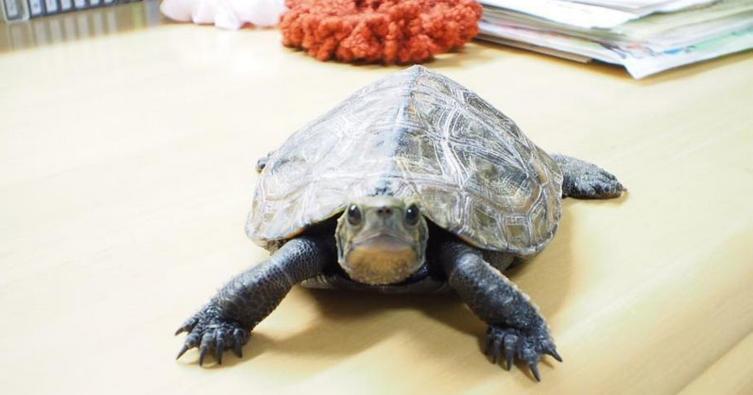 Das ist die schnellste Schildkröte der Welt