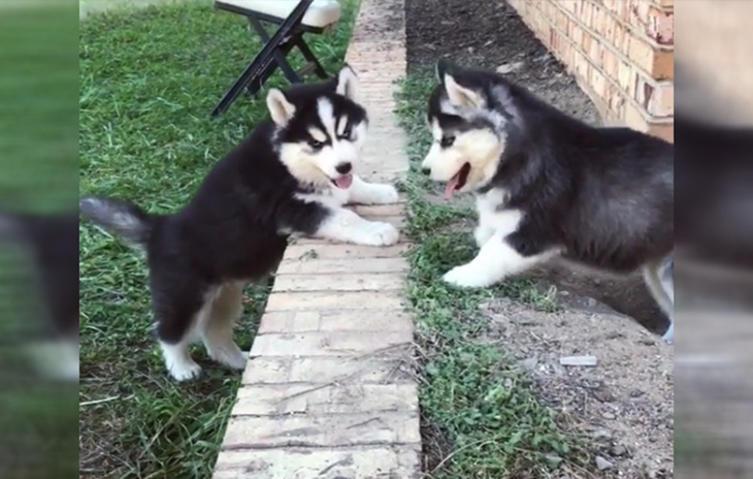 Husky-Welpen und ihr putziger Kampf mit der Schwerkraft