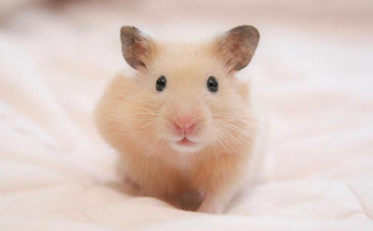 Kennst du schon diese putzigen Hamsterarten?