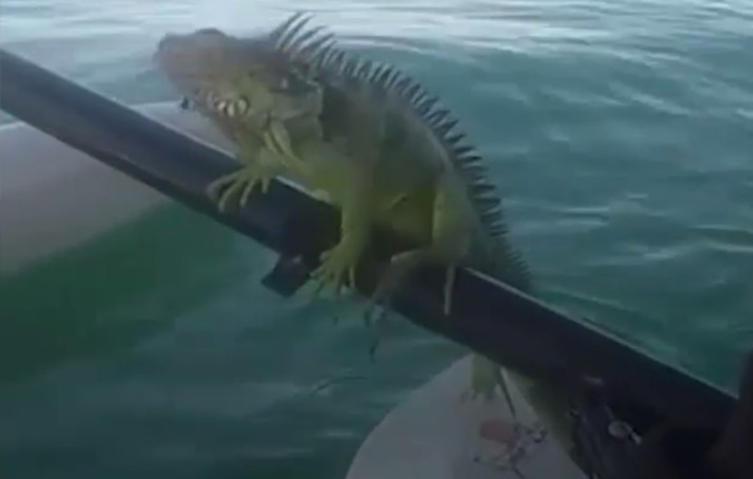 Mitten im Meer: Leguan rettet sich auf ein vorbeifahrendes Boot