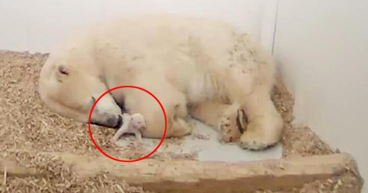 Eilmeldung! Das Eisbärbaby von Berlin ist tot