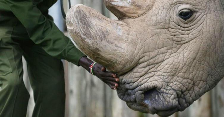 Endstation? Das letzte männliche Nashorn ist tot!