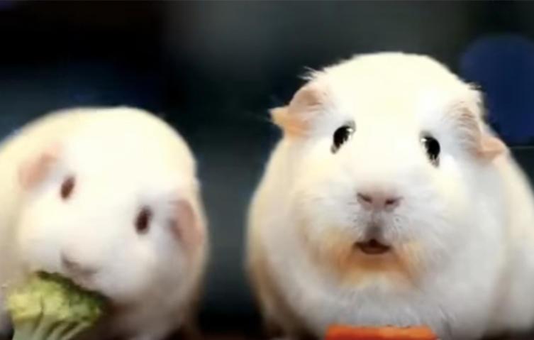Auch Meerschweinchen denken über den Sinn des Lebens nach!
