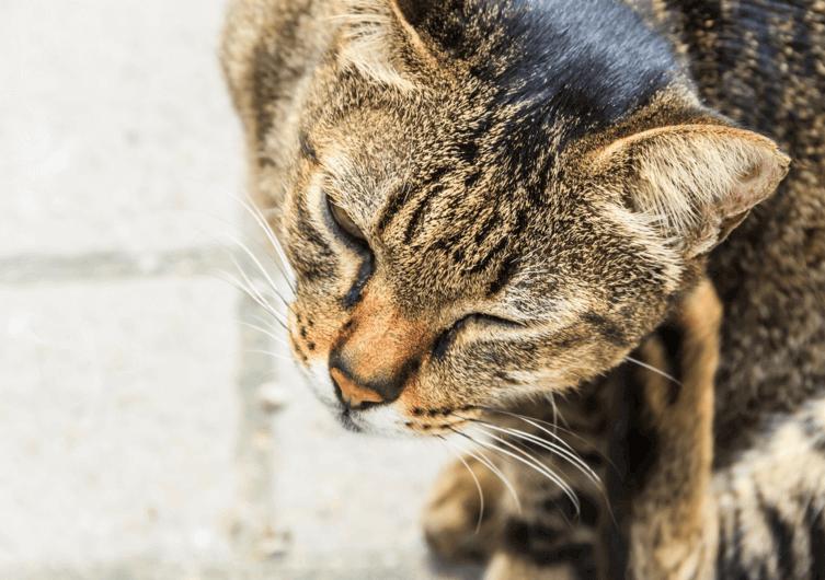 Katzen-Parasiten: Erkennen und Behandeln