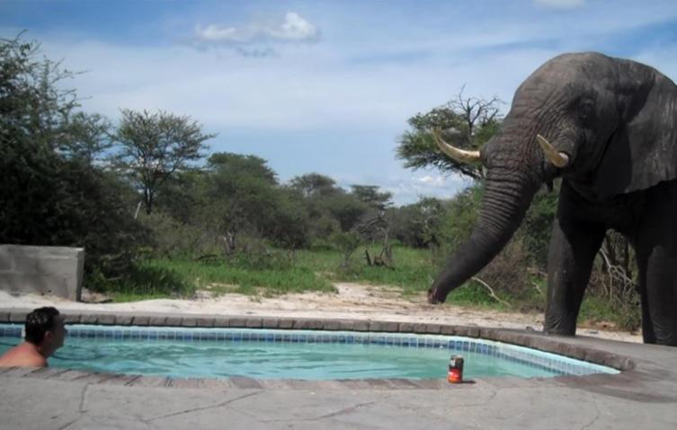 Unerwarteter Gast: Elefant sprengt Pool-Party