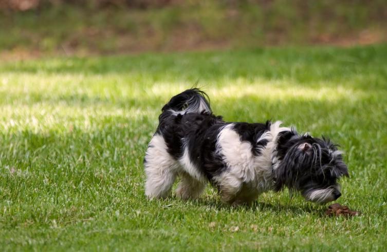 Normales Verhalten oder Störung: Warum fressen Hunde Kot?