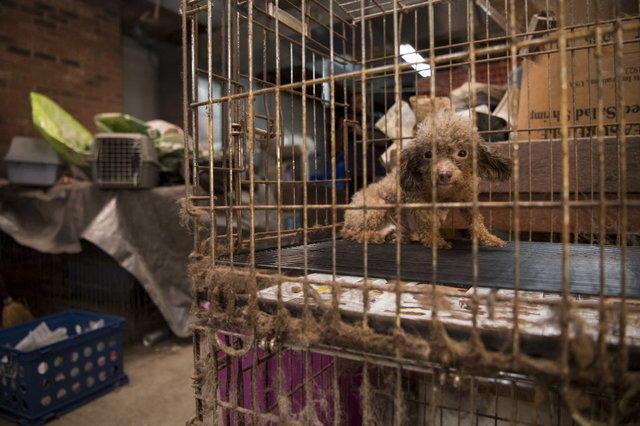 Endlich frei: Pudel musste Leben im Käfig verbringen