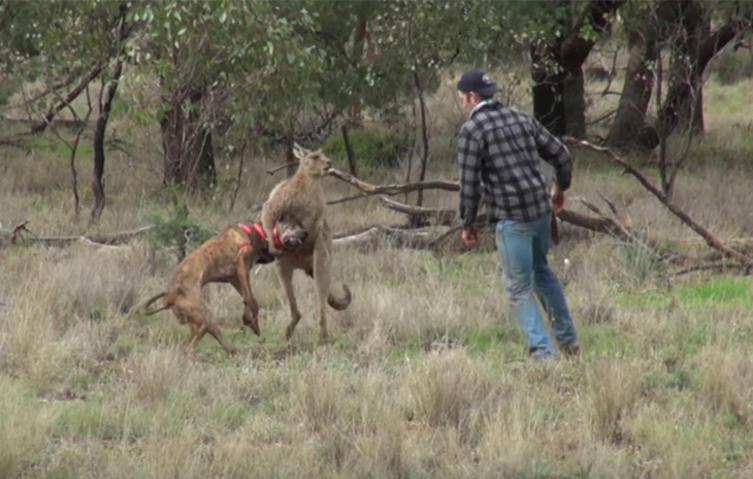 Mann legt sich mit Känguru an, um seinen Hund zu retten