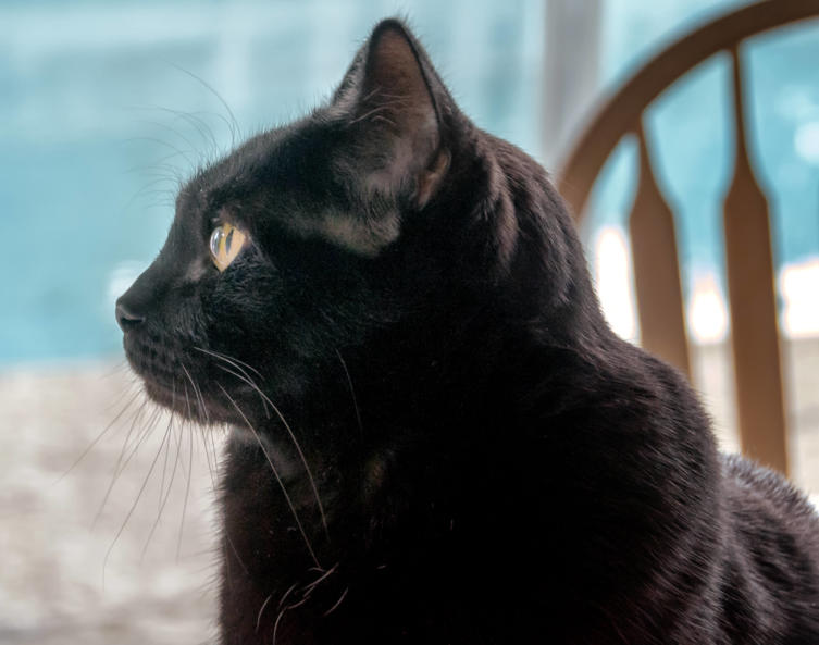 Bombay-Katze: Charakter, Haltung & Wissenswertes
