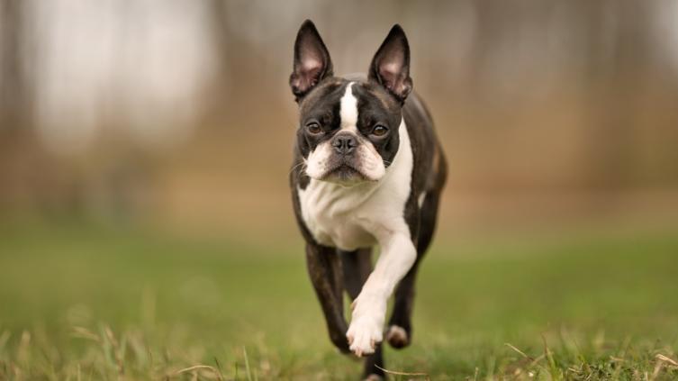 Rasseportrait Boston Terrier: Charakterstarker Charmebolzen