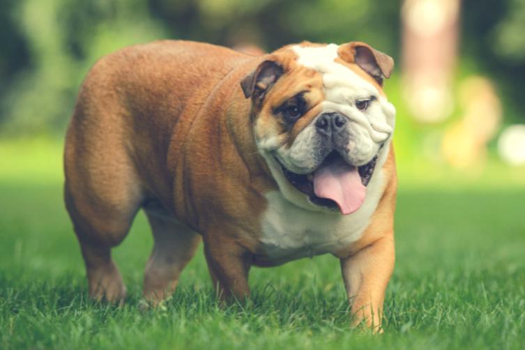 Wissenswertes über die Englische Bulldogge
