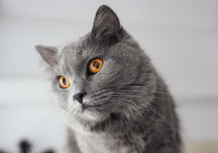 Rasseportrait Kartäuser Katze: Graue Fellnase mit Bernsteinaugen