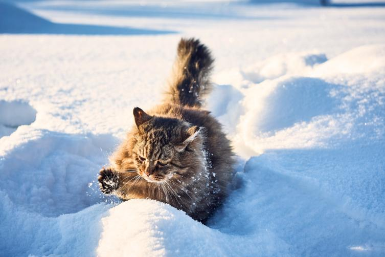 Rasseportrait: Sibirische Katze