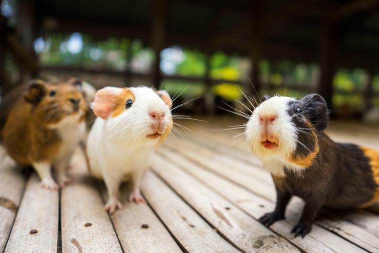 Sozialverhalten und Sprache von Meerschweinchen