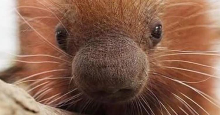 Kennt ihr schon dieses niedliche Tier? Es ist ein Porcupine!