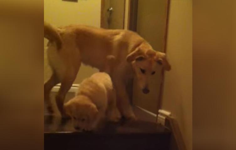 Süß: Junger Hund bringt Welpen das Treppensteigen bei