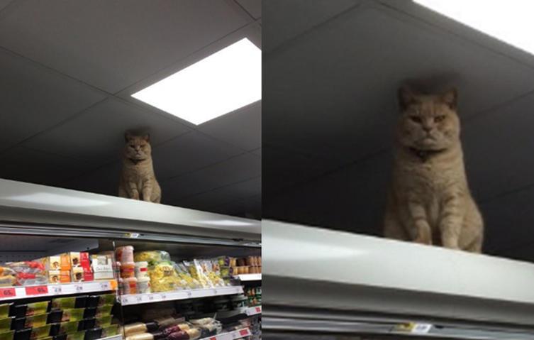 Katze macht es sich regelmäßig im Supermarkt gemütlich – und will einfach nicht gehen
