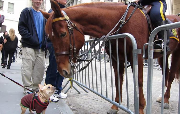 Süße Bulldogge spielt mit einem Polizei-Pferd