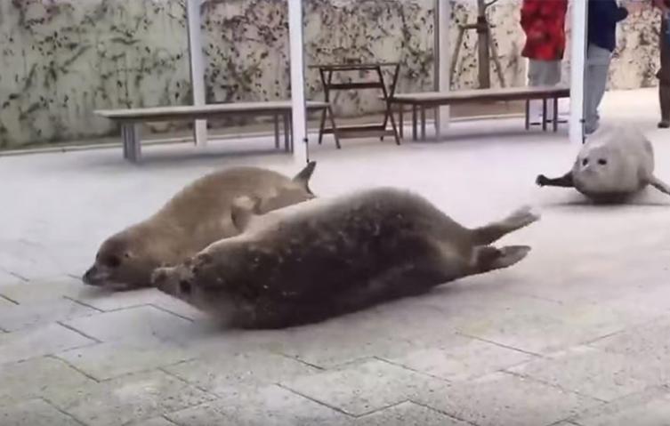 So genial bewegen sich Robben an Land