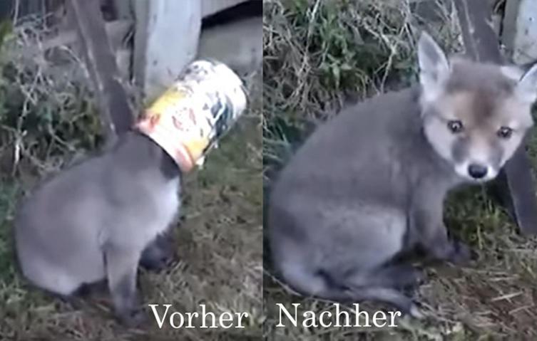 Baby-Fuchs steckt mit Kopf in Dose fest – doch die Rettung lässt nicht lange auf sich warten