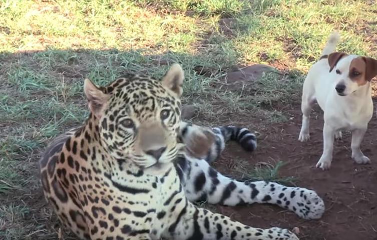 Unglaubliche Tierfreundschaft: Jaguar und Hund spielen zusammen