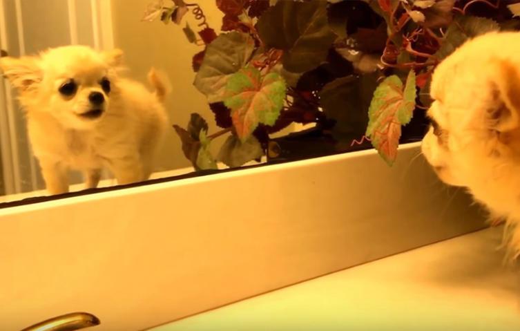 Chihuahuawelpe sieht sich zum ersten Mal selbst im Spiegel