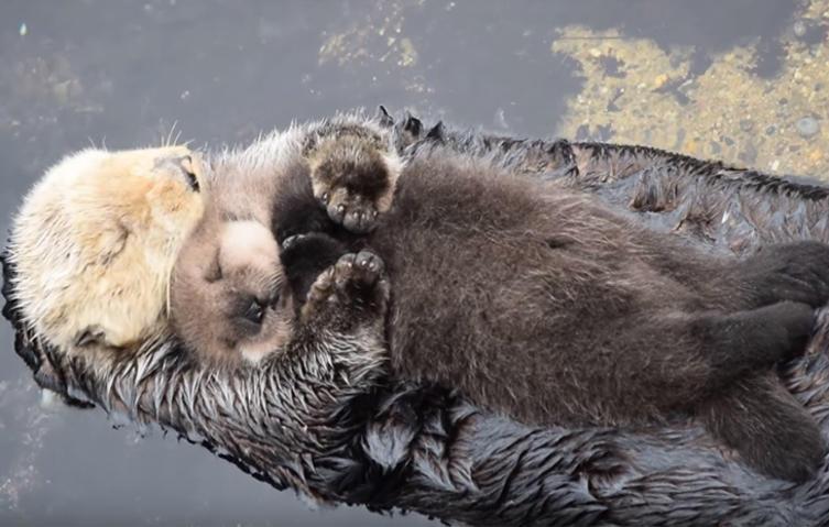 """Gemütliches """"Wasserbett"""": Seeotter-Baby legt sich auf Mama schlafen"""