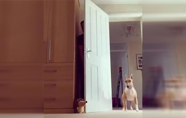 Süßes Heimvideo: Herrchen legt Bullterrier beim Versteckspiel herein
