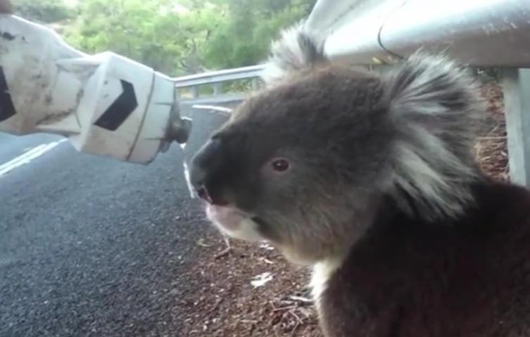 Putzige Begegnung: Koala trifft auf Fahrradfahrer