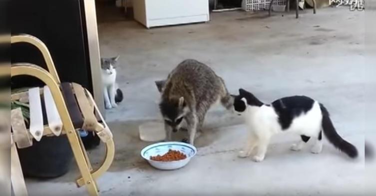 Dieser Moment, wenn ein Waschbär euren Katzen das Futter klaut