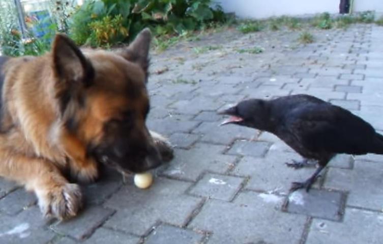 Unglaublich: Krähe spielt Pingpong mit Schäferhund!