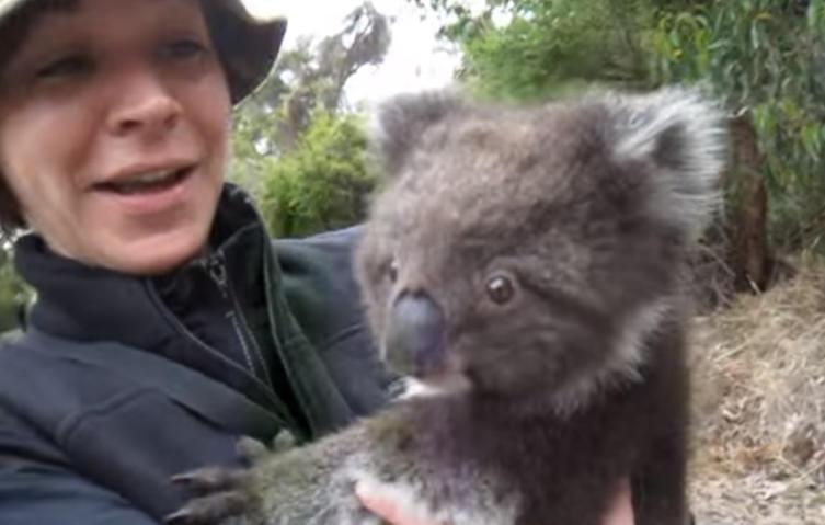 Kuschelbedürftig: Dieser kleine Koala klettert an Passanten hoch, um sie zu umarmen