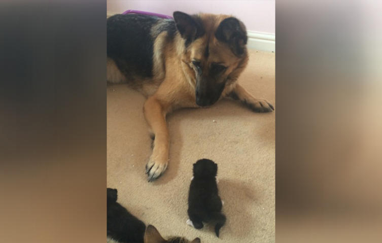 Süßer Moment: Schäferhund sieht zum ersten Mal Babykätzchen