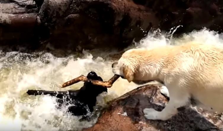 Unglaubliche Rettungsaktion: Hund zieht anderen Hund aus reißendem Fluss
