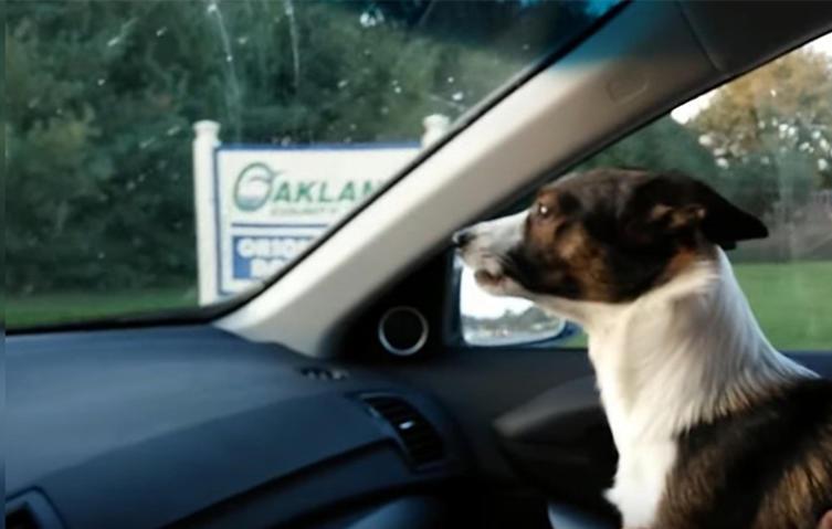 Riesenfreude: Kleiner Hund rastet im Auto völlig aus