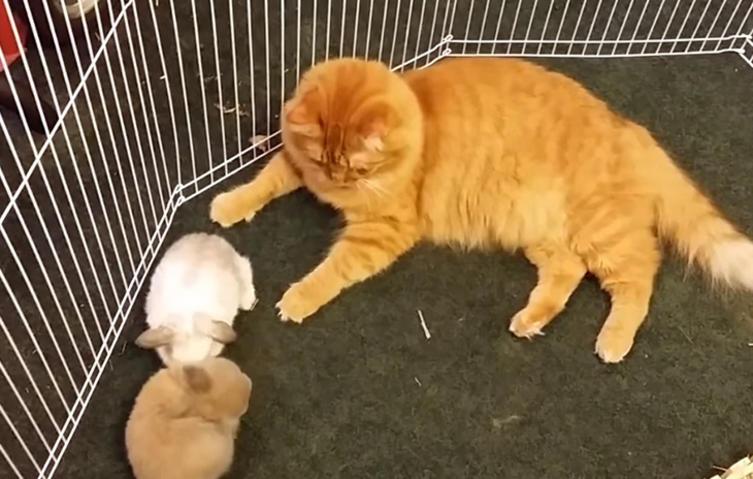 So rührend kümmert sich eine Katze um kleine Häschen