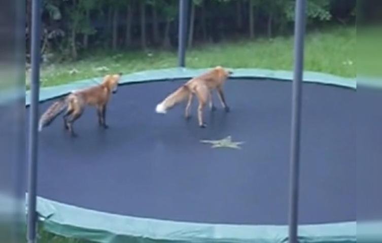 Das passiert, wenn Füchse dein Trampolin im Garten benutzen